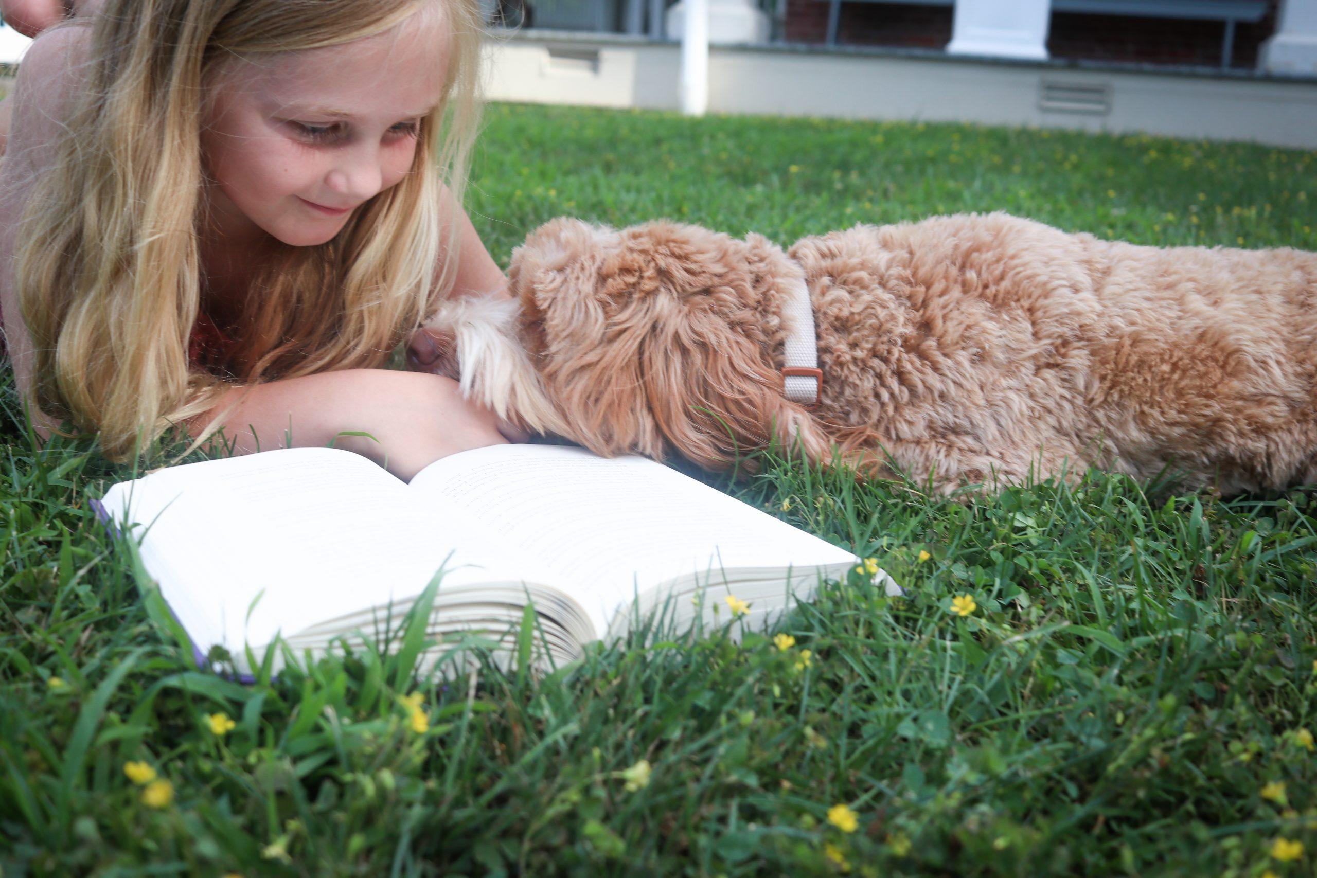 tan Australian labradoodle snuggling with child