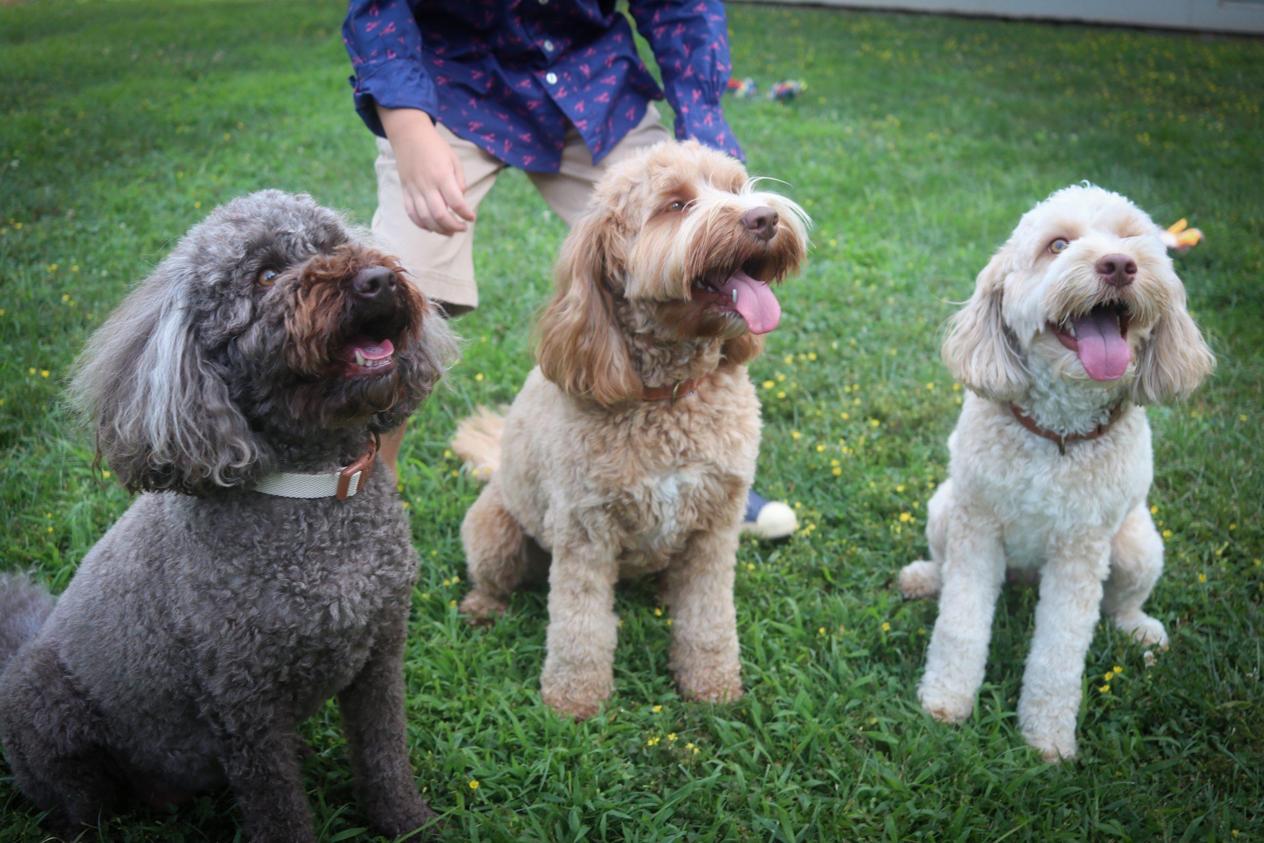 three Australian labradoodle dogs