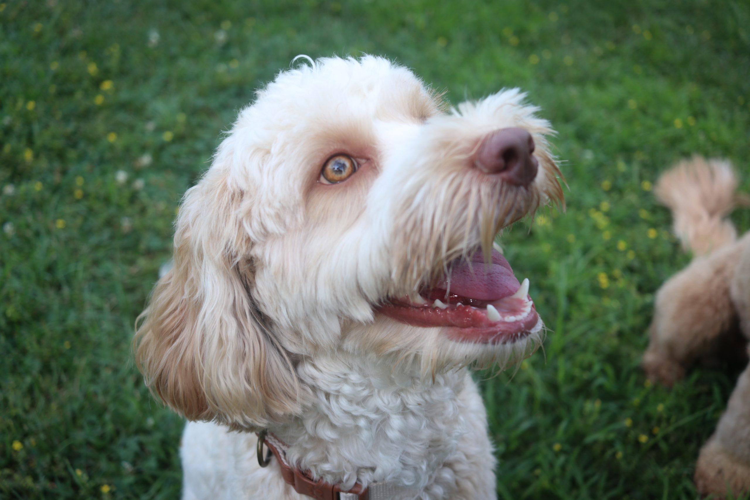 white Australian labradoodle dog panting